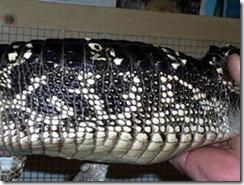 god-alligator